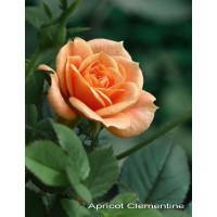 Роза Clementinte (Клементина)